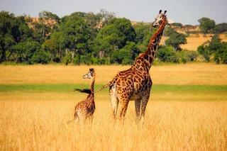 giraffe-2064520_1920.jpg